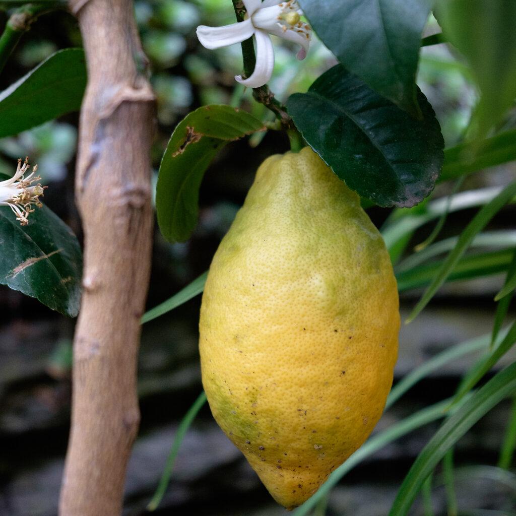 Mein Zitronenbaum